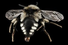 close up of a bee on the black background