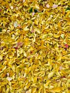 autumn yellow willow leaves on the ground