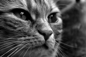 Cat Black And White face