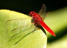 red dragonfly on a green spring leaf