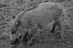 black and white picture of a wild boar