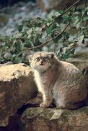 Cat Lynx on a blurred background
