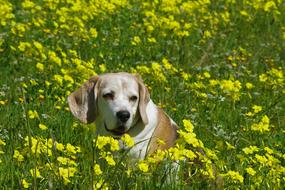beagle in a flowering meadow