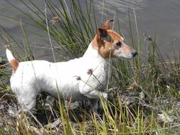 stunningly beautiful Jack Russel