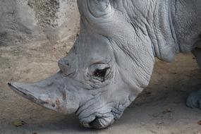 wildlife Rhinoceros Animal
