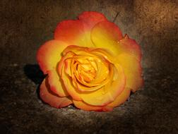 macro photo of a yellow-pink rose on a brown background