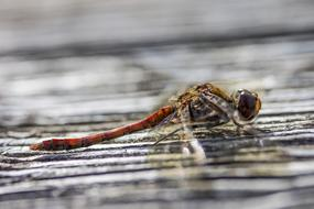 big red Dragonfly Insect