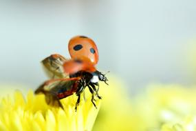 two ladybugs on a yellow flower