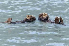 group of sea Otters play in water, usa, alaska