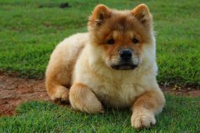 cute fluffy purebred dog