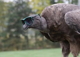 condor in sunglasses