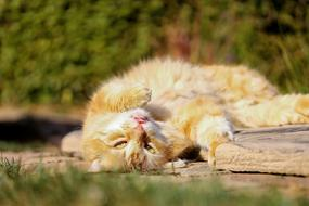 red-white kitten is resting in the sun