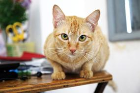 sweet domestic red cat