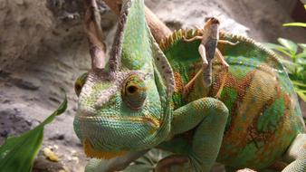 Chameleon with high comb and young grasshopper on side