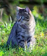 Cute, colorful and beautiful, striped cat on the green grass in the garden