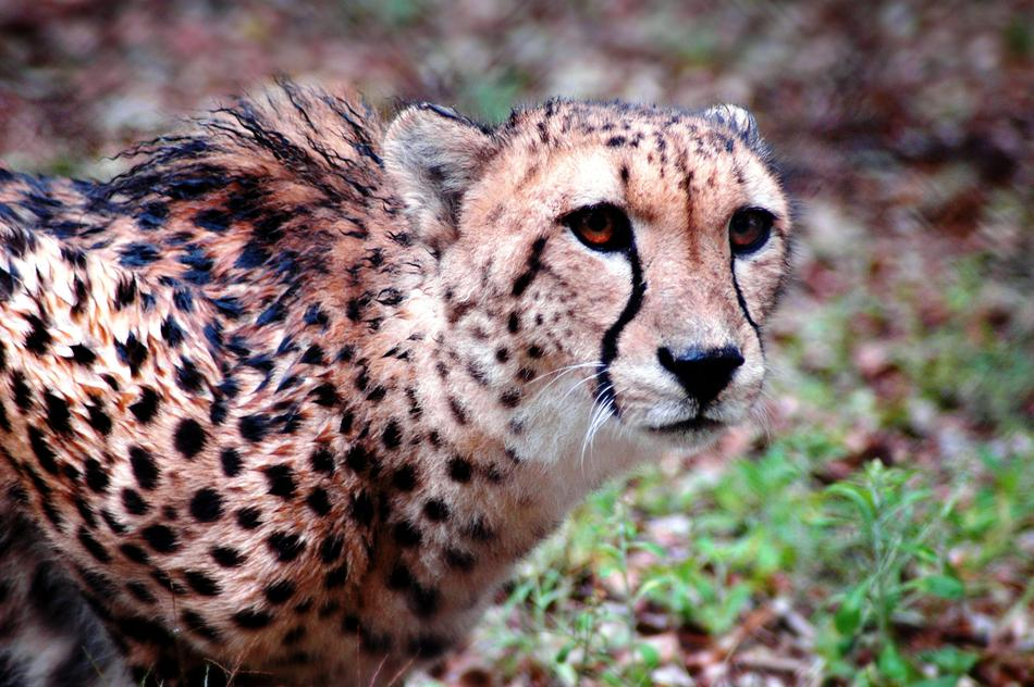 stunningly beautiful Cheetah Animal