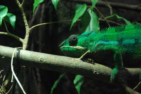Green Chameleon on branch with leaves