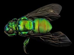 green fly Insect