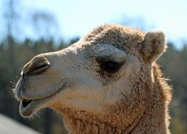 Camel Head with Lips down Close up