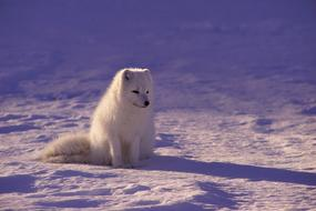 incredible beauty Arctic Wolf Fur