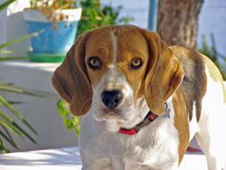 Beagle Dog looking straight