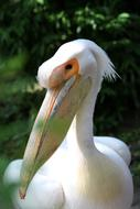 White Pelican, Bird portrait