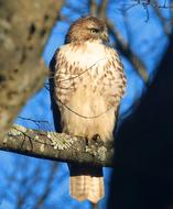 Hawk Sharp Shinned