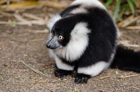furry black and white ruffed lemur on ground