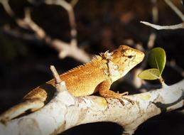 chameleon is walking on a tree branch