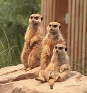 Meerkats Family sit on red stone in zoo