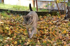 grey Cat walking on Fall Leaves
