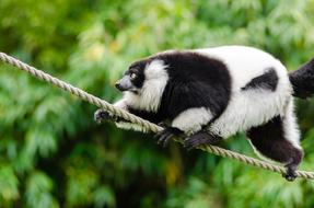 rare black and white lemur is walking on a rope