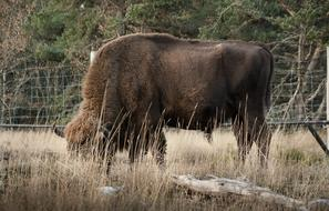 photo of a bison in an autumn pasture