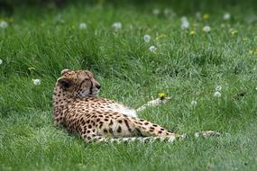 goodly Cheetah Spots Animal