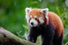 goodly Adorable Red Panda