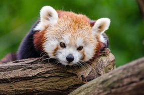 red panda sleeps on a tree
