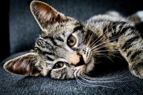 face of Adorable young tabby Cat resting on seat