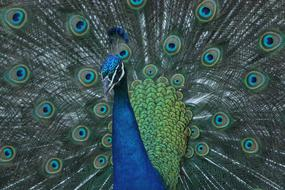 Peacock, Bird with wide open Colorful tail feathers