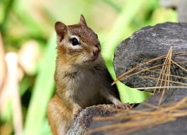 Chipmunk on stone in wild