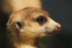 cute meerkat face digital art