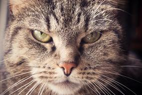 photo portrait of a serious domestic cat