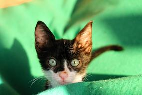 kitten with green eyes on a blurred background