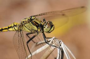 goodly Dragonfly Insect Close Up