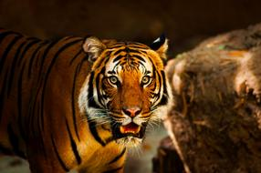 irresistible Tiger Animal Wildlife