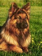 beautiful german shepherd resting on a green summer meadow