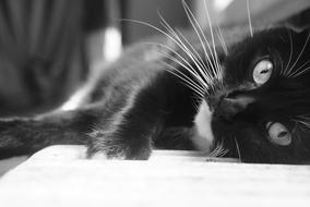 Cat Black and White relax