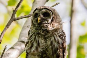Barred Owl Baby