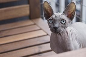 sphinx cat on a wooden chair