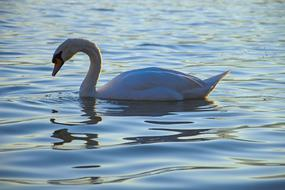 graceful white swan looks at its reflection in a pond