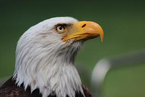 photo portrait of a bald eagle